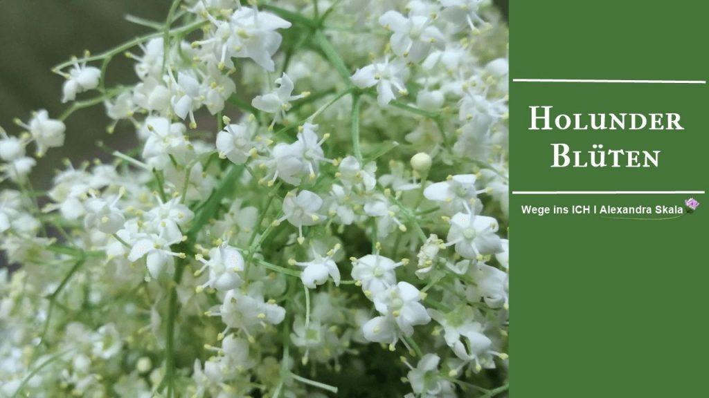weiße-Holunder-Blüten