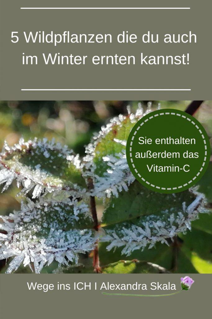 Heilkräuter im Winter sammeln
