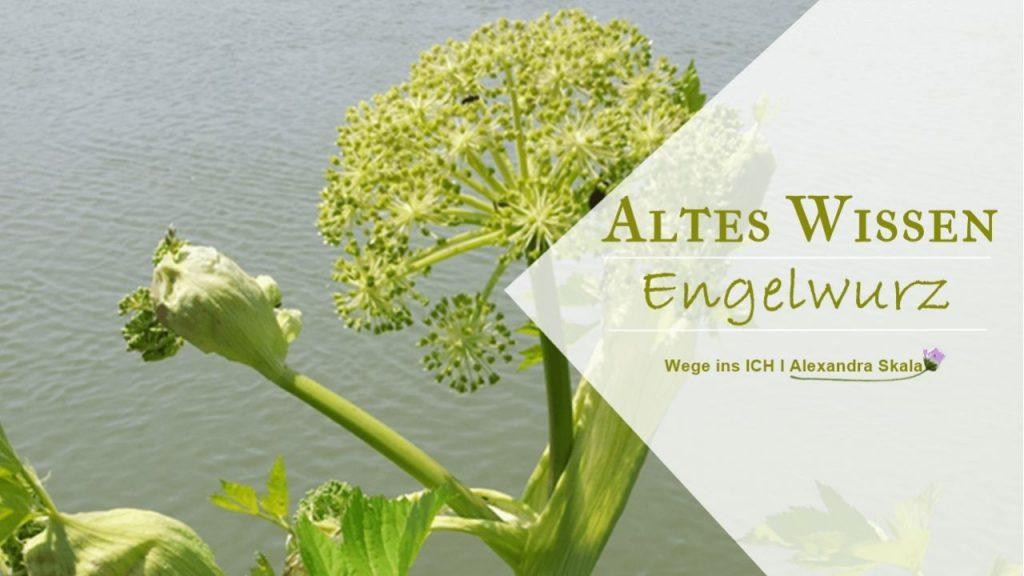 Engelwurz Altest Wissen-Wirkung-Inhaltsstoffe
