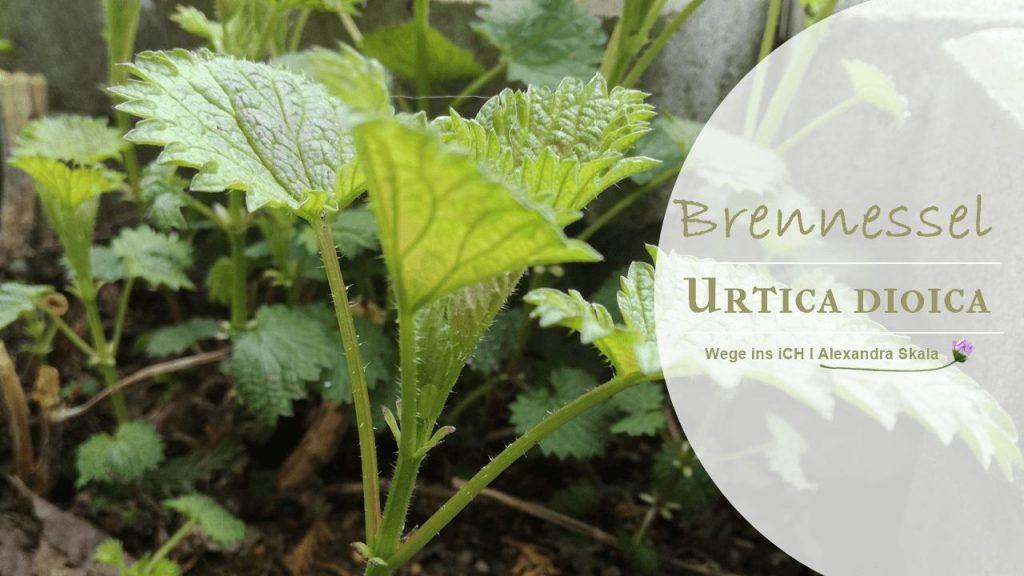 Brennessel-Urtica Dioica