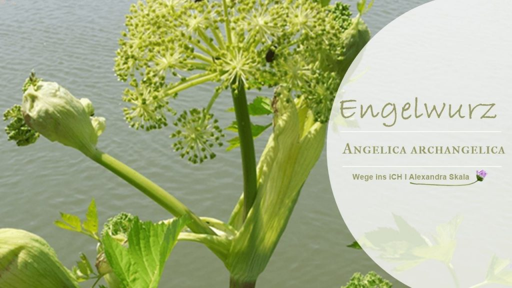 Engelwurz-Angelica Archangelica