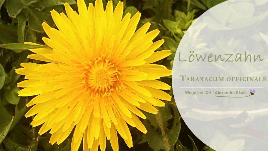 Löwenzahn-Blüte-Taraxacum Officinale