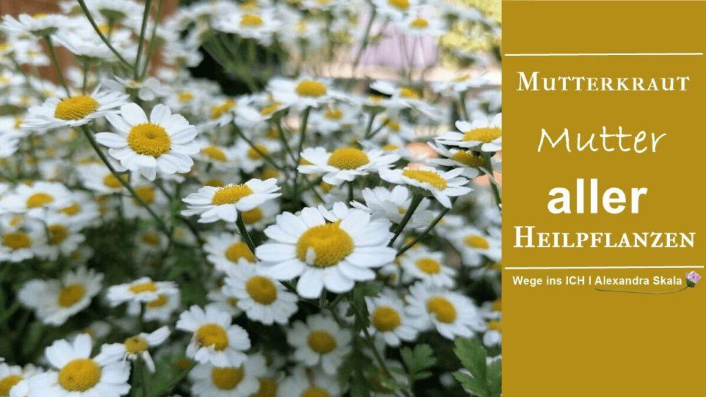 Mutterkraut Mutter aller Pflanzen