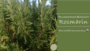 Rosmarin-Pflanzenwesen-Pflanzenbotschaft Rosmarin