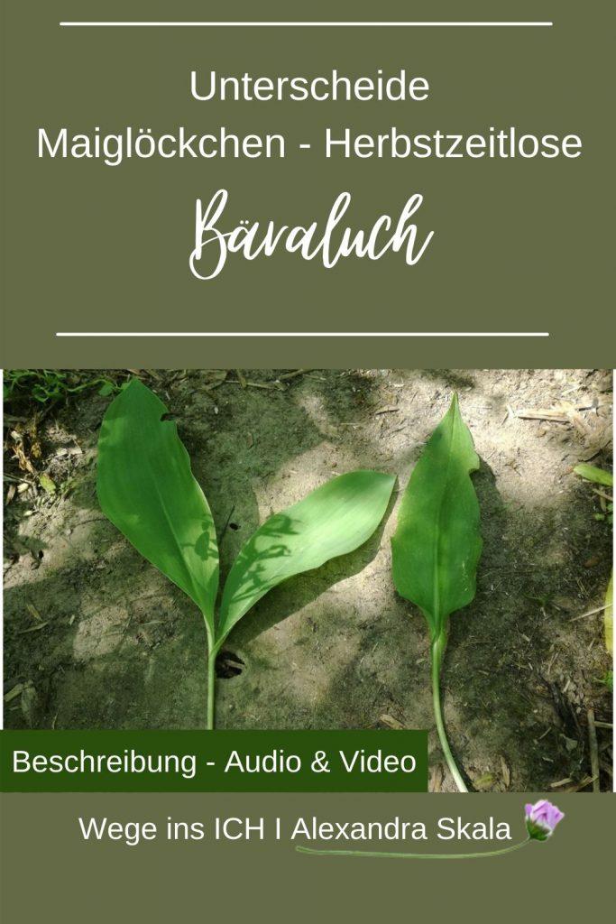 Bärlauchblätter-Maiglöckchenblätter Unterschied