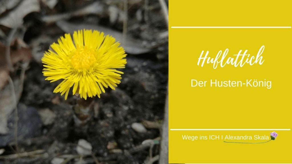 Frühlingspflanze Huflattich und Wirkung