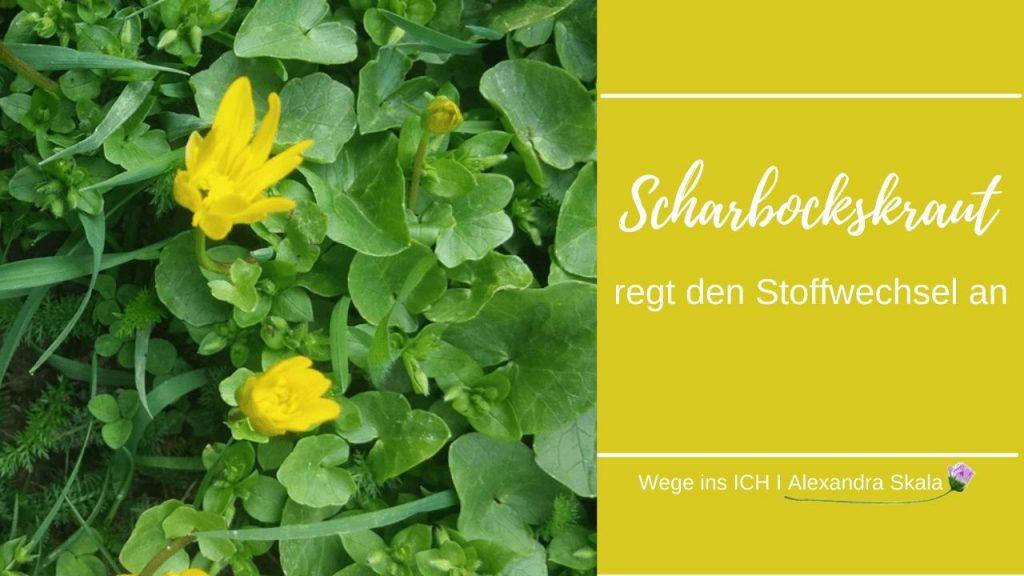 Standort vom Scharbockskraut mit gelber Blüte und Blätter