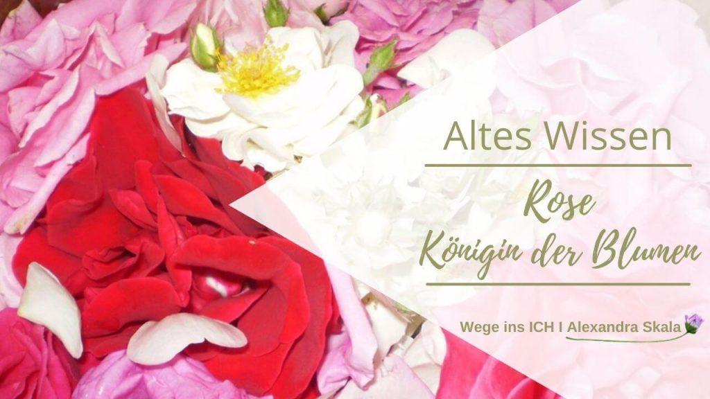 Kräuterwissen-Rose die Königin der Blumen