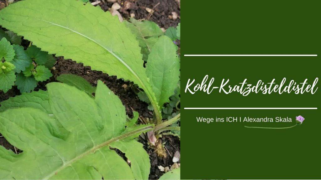 Kohldistel-Kohlkratzdistel-Kratzdistel-Blätter