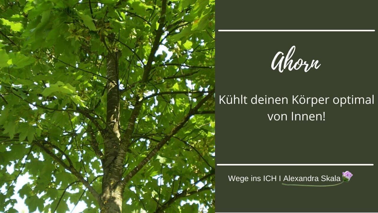 Ahornbaum-Ahornblätter-Warum Ahorn deinen Körper an Sommertagen kühlt