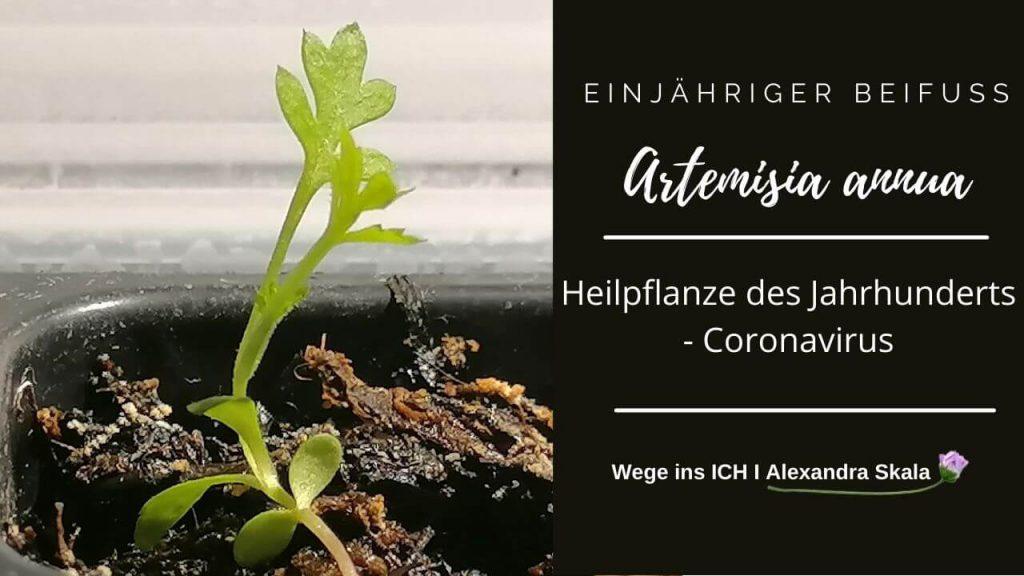 Artemisia annua-Einjährige Beifuß-Coronavirus-Heilpflanze gegen Corona