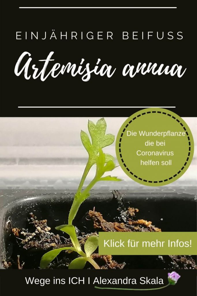 Artemisia annua-Einjährige Beifuß-Heilpflanze bei Corona