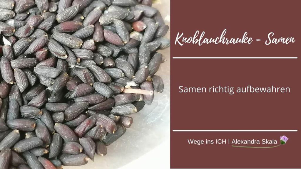 Knoblauchrauke-Samen-Körner