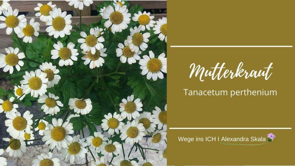 Mutterkraut-Tanacetum perthenium