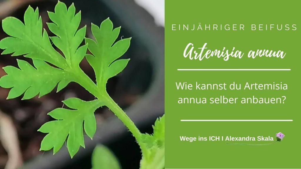 Wie kannst du Artemisia annua selber anbauen